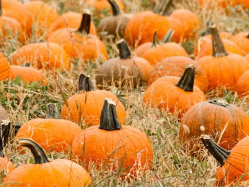 Pumpkin Patch Thornton
