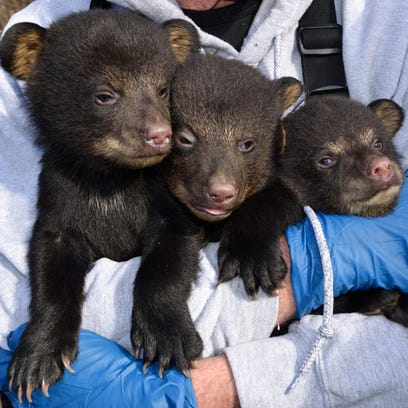 A wildlife biologist checks three bear cubs found in an Asheville-area den this spring before returning them to the den. Bear numbers are expected to be high this spring because of good reproduction rates and poor hunter success in the fall hunting season.