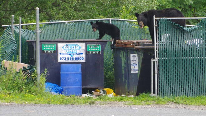 A tagged black bear sow and three cubs dined at a Barry Lakes dumpster. Two cubs were eating in the dumpster.