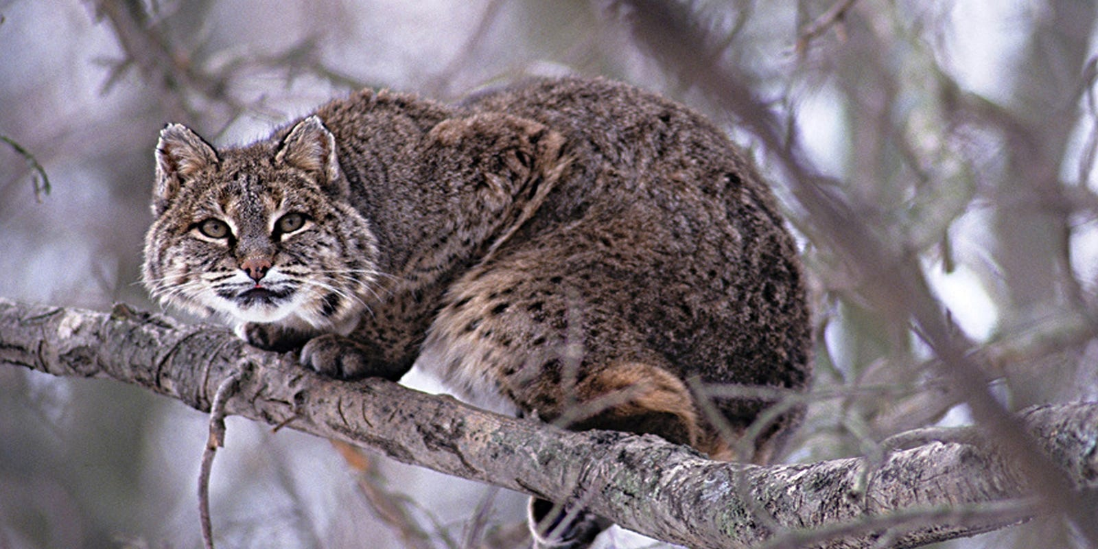 Bobcats Resurgence A Great Comeback Story How To Build Nocturnal Animals Whisker