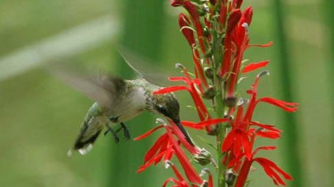 Hummingbirds and butterflies are attracted by specific plants. Planning your garden accordingly will reap benefits for gardeners.