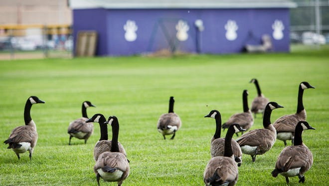 Canada Geese invade Central's practice field near the school's soccer fields and football stadium.