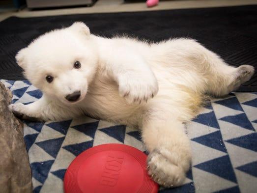 An adorable 3-month-old polar bear born at the Columbus