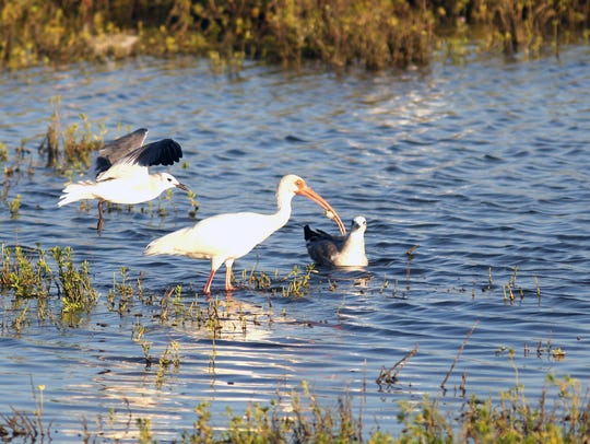 A white ibis with a crab plays keep-away with a pair