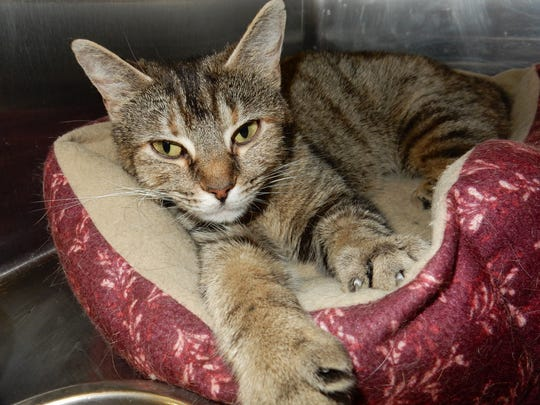 Abby is a gorgeous, 1-year-old, spayed-female tabby