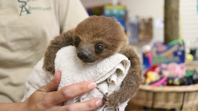 Sid the baby sloth greets visitors to the Watering Hole at the Monsoon Lagoon.