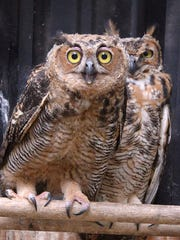 A pair of Great Horned owls.