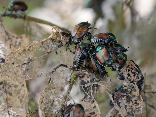 636368458155627428-Japanese-beetle.JPG