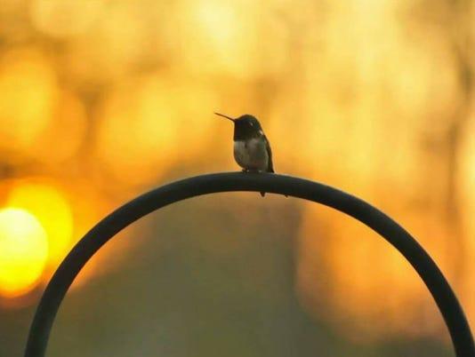 636650093785876901-Hummingbird-Sunset.jpg