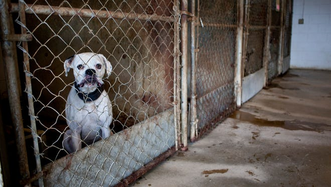 A dog looks out from behind a kennel Tuesday, November 10, 2015 at the Sanilac County Animal Control.