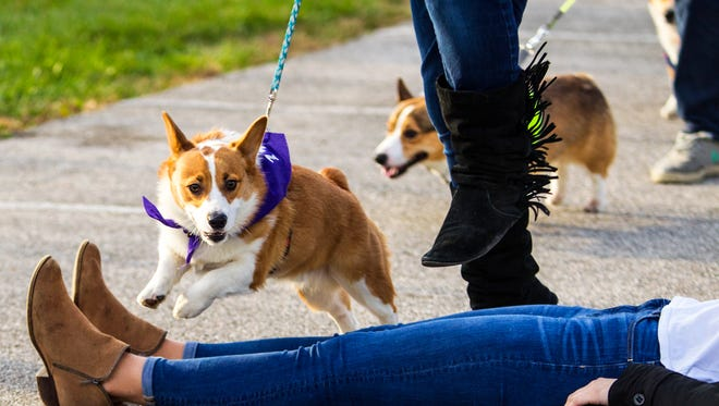Reshi hops over a human obstacle during the First Corgi Race at Purdue University in West Lafayette, Ind. on Saturday, Nov. 11, 2017.