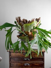 "Staghorn Ferns have three distinct parts. The ""antlers"" – the green leaves emerging from the root ball, the ""shield fronds"" – rounded leaves that harden over time to protect the roots, and the roots."