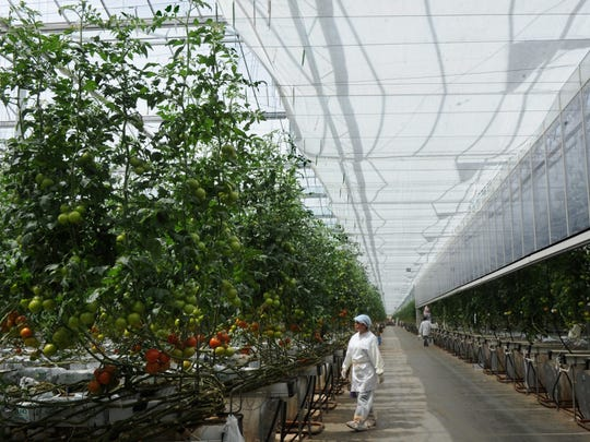 Workers tend tomatoes growing in a greenhouse at Houweling's in Camarillo. The state-of-the-art facility will offer by-reservation tours during Ventura County Farm Day on Nov. 9.