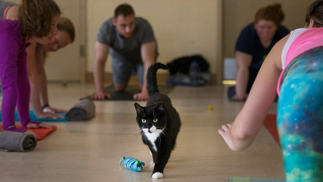 Kitty Cats  and Yoga Mats yoga session at the Monmouth County SPCA during which cats available for adoption are allowed to roam free and get to know the participants while they take a yoga class.