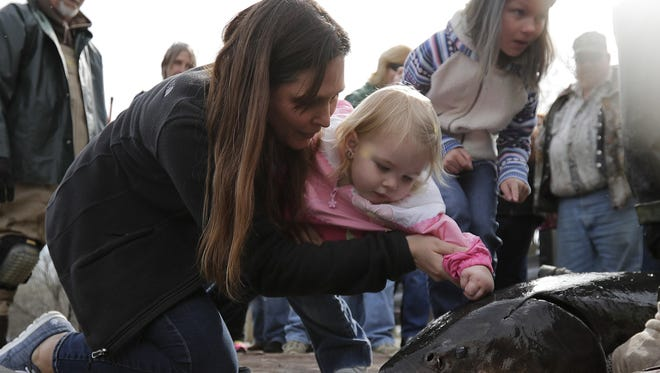 Bonnie Cisna lets her granddaughter, Evelyn Christensen, touch a sturgeon as Wisconsin Department of Natural Resources fisheries employees and volunteers capture and tag fish Tuesday during the annual spawning season along the Wolf River Sturgeon Trail near New London.