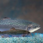 Two salmon of the same age are shown; one is genetically engineered, rear, and the other is not.