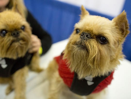 Brussels griffons Karli, left, and Spice participate