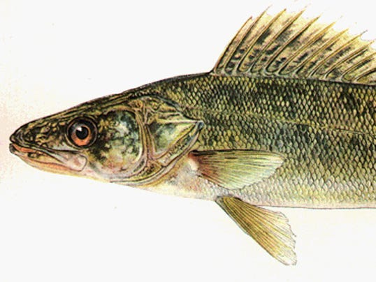 Try walleye fishing this summer for Walleye fishing videos