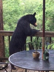 This black bear has a bird's eye image of the forest