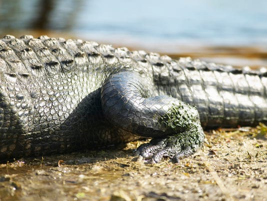 #stockphoto Alligator Stock Photo