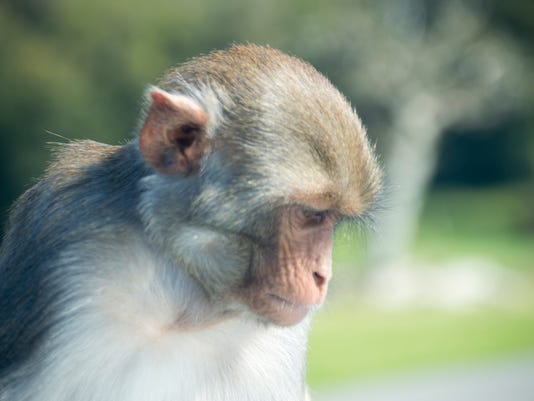 #stockphoto rhesus monkey Stock Photo