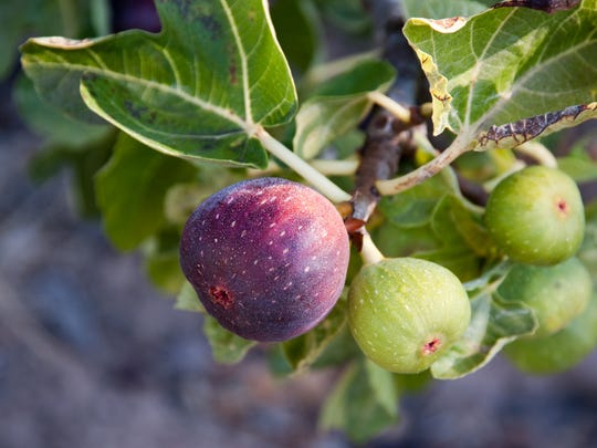 Figs are one of the most fragile fresh fruits you'll