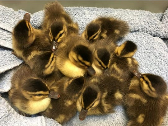 Ducklings are some of the 230 baby wild animals were