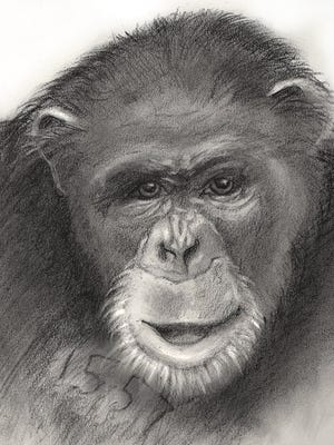 A sketch of a chimpanzee named Fred who is one of the 20 chimpanzees from the Alamogordo Primate Facility at Holloman Air Force Base. Fred will be set free and moved to a sanctuary possibly by the end of the year.