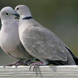 File photo taken in 2009 shows two turtle doves in St. George Island, Fla. The cost of two turtle doves rose 11.5% to $290 in 2015, according to the 32nd annual PNC Wealth Management Christmas Price Index.