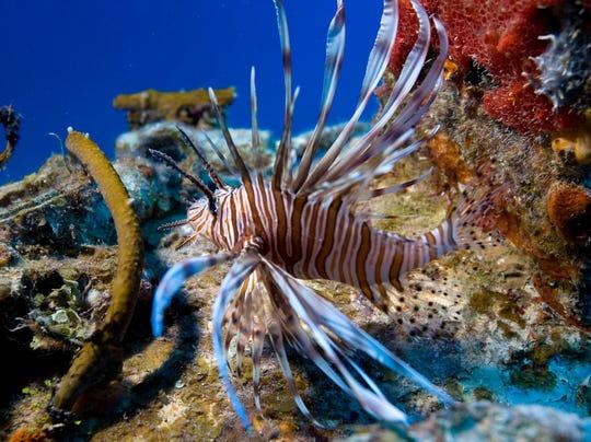 Lionfish FILE 01.jpg