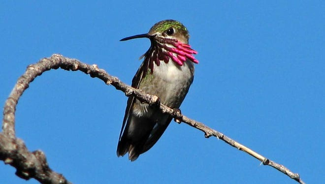 A male calliope hummingbird flashes its iridescent throat feathers.