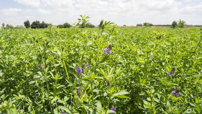 Alfalfa continues to grow on Pursel Farms. The farm was honored with a centennial award by the various state agencies.