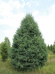 Strautman's Tree Farm is located at 58976 290th St.,