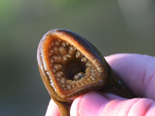 The mouth of a sea lamprey held by research ecologist