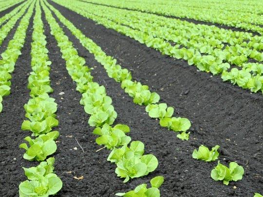 Romaine lettuce grows in a field near Salinas.