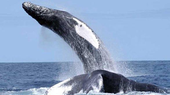 A humpback whale breaching (Source: NOAA Fisheries)