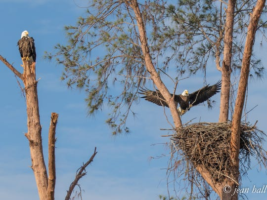 The two eaglets hatched by Marco eagles Paleo and Calusa have been relocated to the von Arx Wildlife Hospital at the Conservancy in Naples after Paleo, the father, was killed by an electric wire. Photo © copyright by Jean Hall