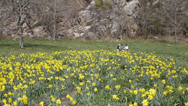 A group of friends enjoy a sunny day in the daffodil field at Ballard Park in April.