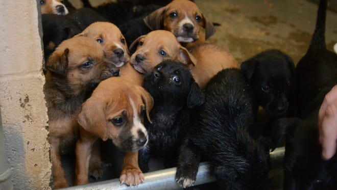 Litters of puppies are fostered by the nonprofit P.A.W.S. to save them from death by euthanasia at an animal shelter.