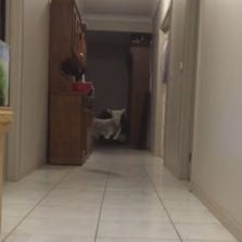 Winter the lamb jumping down the hall