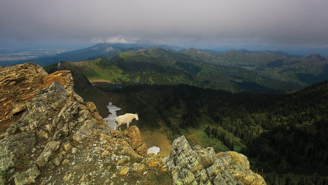 A mountain goat on the summit of Mt. Aeneas in the Jewel Basin in the Swan Range.