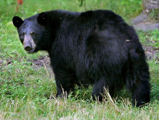 AP_Feeding_Bears