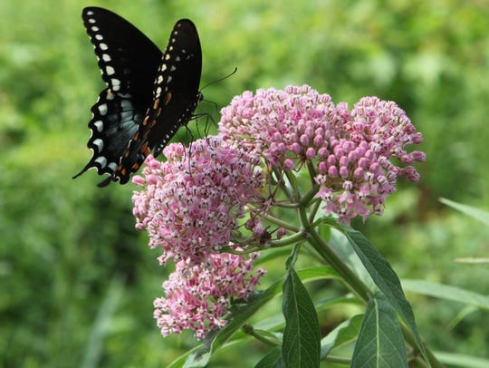 A swallowtail butterfly lands on Joe-pye weed at the