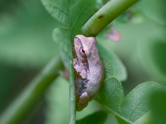 Amphibian - Gray Treefrog - John Mizel.jpg
