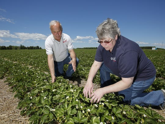 Dave and Terri Wilfert check on their strawberry fields