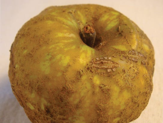 Knobbed Russet sports a toad-like but edible skin covered
