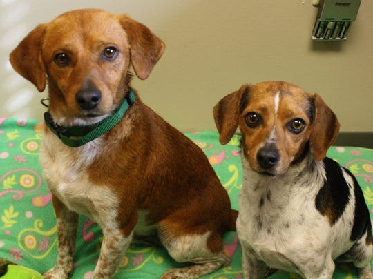 Left to right: Pharrell and Jewel, two Beagle/ Jack Russell Terrier mixes rescued in Tennessee await adoption at the Adams County SPCA.