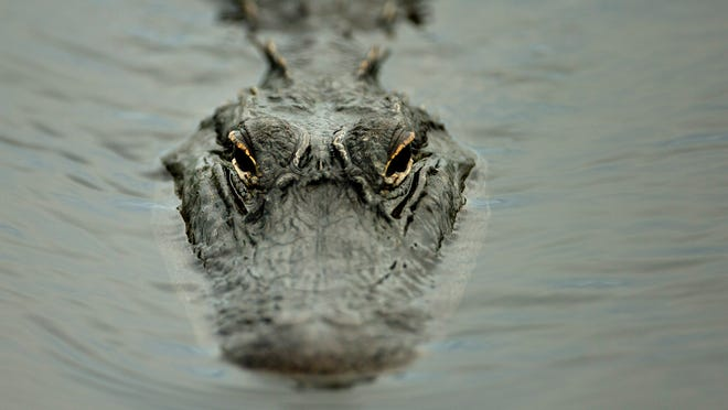 An alligator swims in the murky waters of the Florida Everglades during the rainy season at the Everglades National Park. File