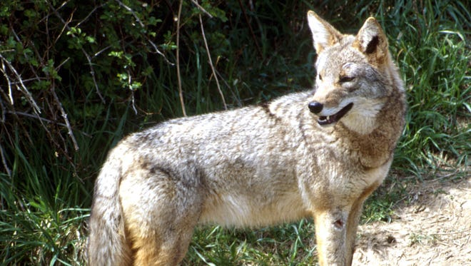 The Ohio coyote is native to Southwest Ohio and is a predator but only very rarely a threat to humans. Coyotes can feed on small animals including cats and smaller dogs.