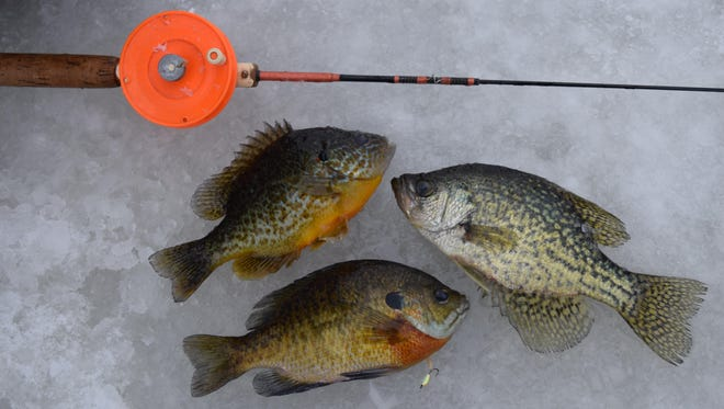 Just abut all panfish — pumpkinseeds, bluegills and crappie — will be shallow at first ice.